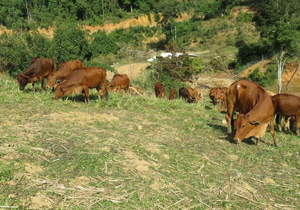 Bệnh cảm nắng, cảm nóng ở trâu bò